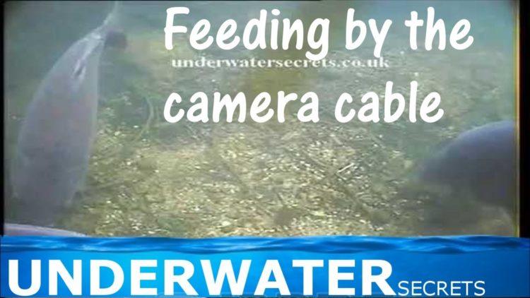 Carp feeding by my camera cable